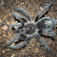 Grammostola sp. Formosa Juvenile Female - 2.5""