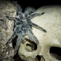 Thrixopelma ockerti Adult Female - 5""