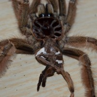 Stromatopelma calceatum female