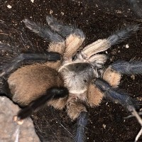 "M. balfouri adult female ""Josie"""