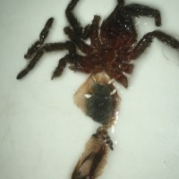 "Homoeomma sp. ""blue"" [molt sexing]"