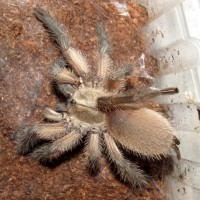 "My New Monocentropus balfouri (2.5"")"