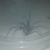 Brown recluse adult