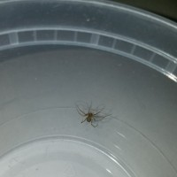 brown recluse sling sex?