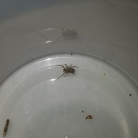 Brown Recluse sling female?