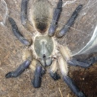 Monocentropus balfouri Freshly Molted Female