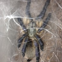 Monocentropus balfouri Freshly Molted Female 2nd Pic