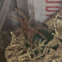 G. Pulchripes First Night Close Up