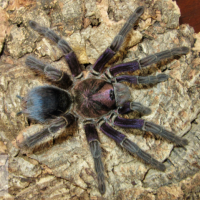 "Phormictopus sp. ""Dominican purple'"