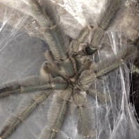 1.0 MM P. cabridgei Freshly Molted