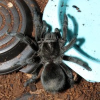 "Damn It, Jim! I'm a Bulldozer, Not an Engineer! (♀ Grammostola pulchra 3.5"")"