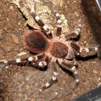 "A King Deposed (♂ Acanthoscurria geniculata 3.75"")"