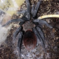 0.1 X. immanis Freshly Molted (Not a male)