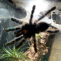 A. avicularia beautiful blue shiny feet