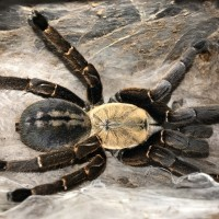 Haplopelma bach ma adult female