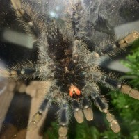 "3-3.5"" Avicularia avicularia [ventral sexing]"