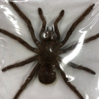 Sold as Citharacanthus spinicrus (ex Eurypelma spinicrus)