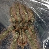 1.0 MM P. rufilata Freshly Molted