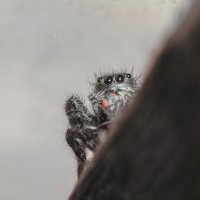 Happy International Jumping Spider Day!