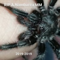 Re-uploaded tribute to my Australothele Nambucca male