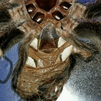 Acanthoscurria geniculata [molt sexing]