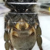 E. Murinus 2, suspect male again