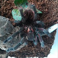 Pamphobeteus sp. Machalla 0,1