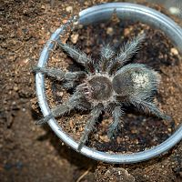 Grammostola sp. Formosa Juvenile Female