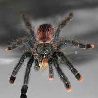 Sold as Avicularia avicularia