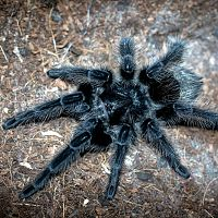 Grammostola grossa Sub-Adult Female