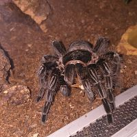 T. albopilosus eating