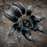 My Senior Brachypelma emilia Female