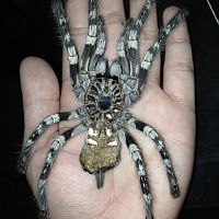 Adult Female P. striata Molt