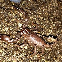 Baby Asian forest scorpion