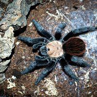 Brachypelma albiceps Sub-Adult Female