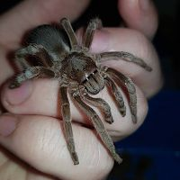 "Selenotypus sp. ""Wallace"""