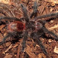 "My New Grammostola actaeon (1.5"")"