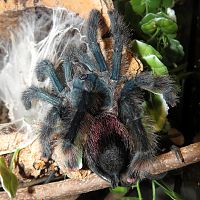 "Freshly Molted Poop Cannon (♀ Avicularia avicularia 5"")"