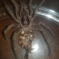 "Hapalopus sp. ""Colombia large"" [molt sexing] [1/2]"