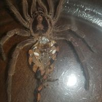 "Hapalopus sp. ""Colombia large"" [molt sexing] [2/2]"