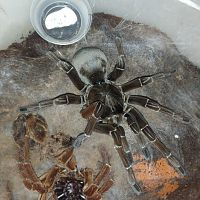 Freshly molted T. stirmi