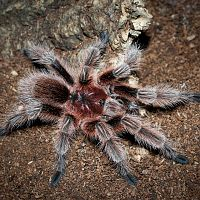 Grammostola sp. Concepcion Mature Male