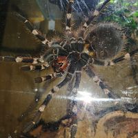 Acanthoscurria geniculata 1,5 Y