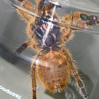 "3"" Pterinochilus murinus [ventral sexing]"