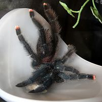 "So Thirsty! (♀ Avicularia avicularia 5"")"