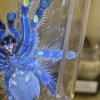 Poecilotheria Metallica 2 Male or Female [1/2]