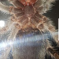 Chilean Rose Tarantula [ventral sexing]