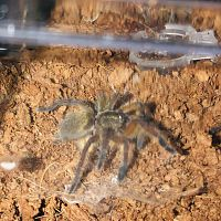 My newest edition (1'' H. Pulchripes