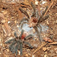 "Freshly Molted Grammostola actaeon (2"")"