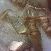 "Grammostola Quirogai or Pulchra Just under 2"" [1/2]"
